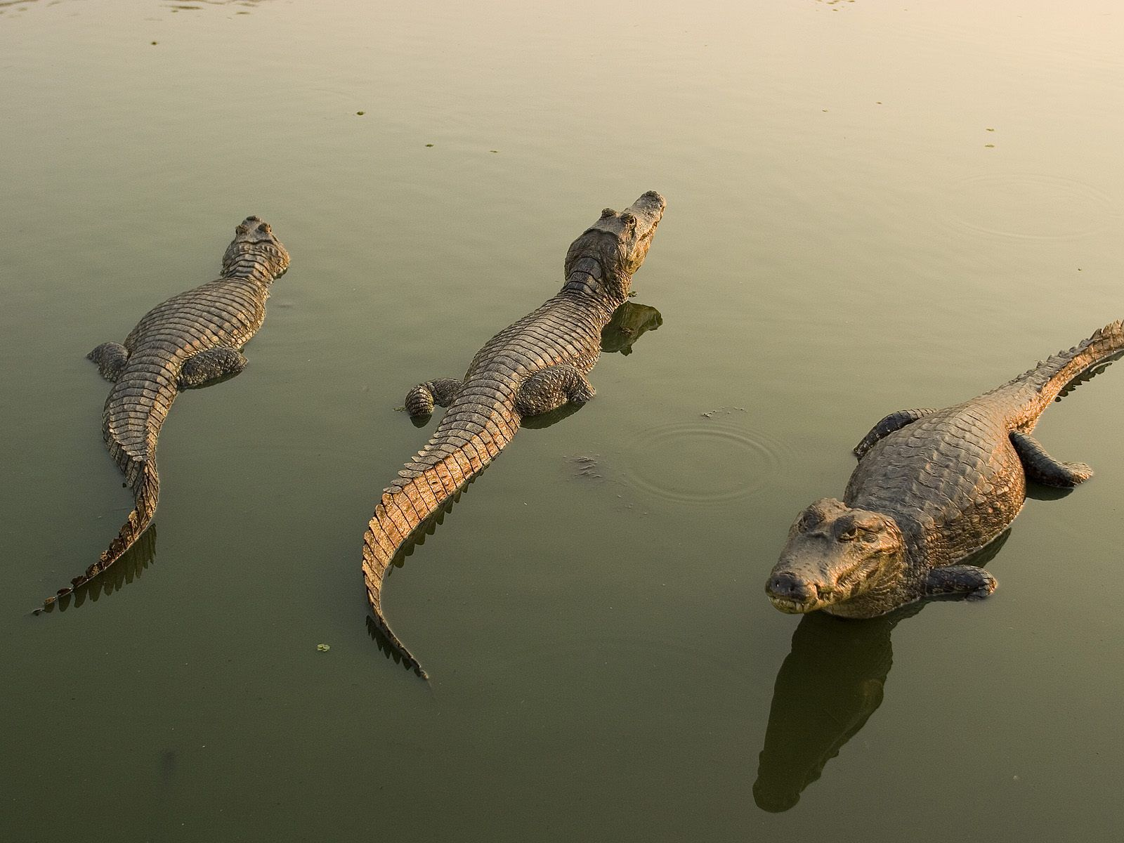 Alligators Crocodile Images Crocodiles Animals