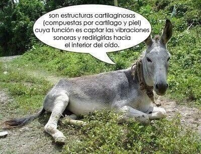Image result for orejas de burro