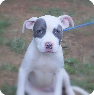 Newark, DE - Bulldog Mix. Meet Covergirl, a puppy for adoption. http://www.adoptapet.com/pet/13847872-newark-delaware-bulldog-mix