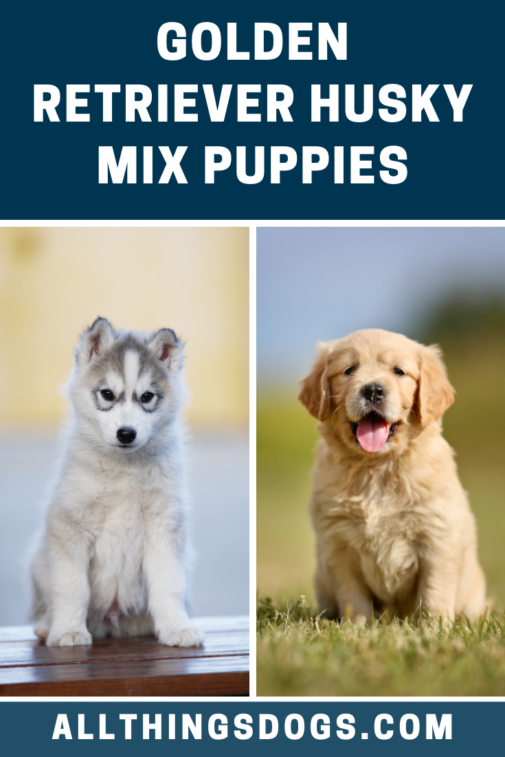 As A Mixed Breed Each Of The Golden Retriever Husky Mix Puppies