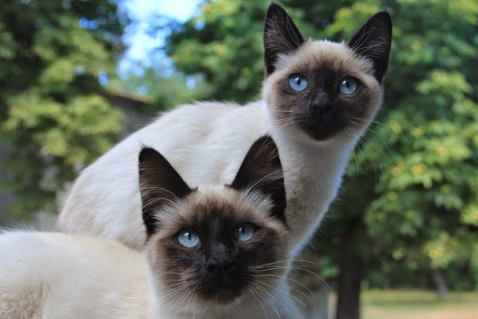 Afficher l 39 image d 39 origine chat siamois pinterest siamois chats siamois et chat - Chaton tonkinois ...