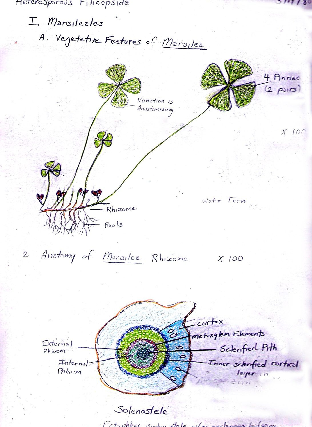 Marsilea or water fern vegetative features and rhizome anatomy ...