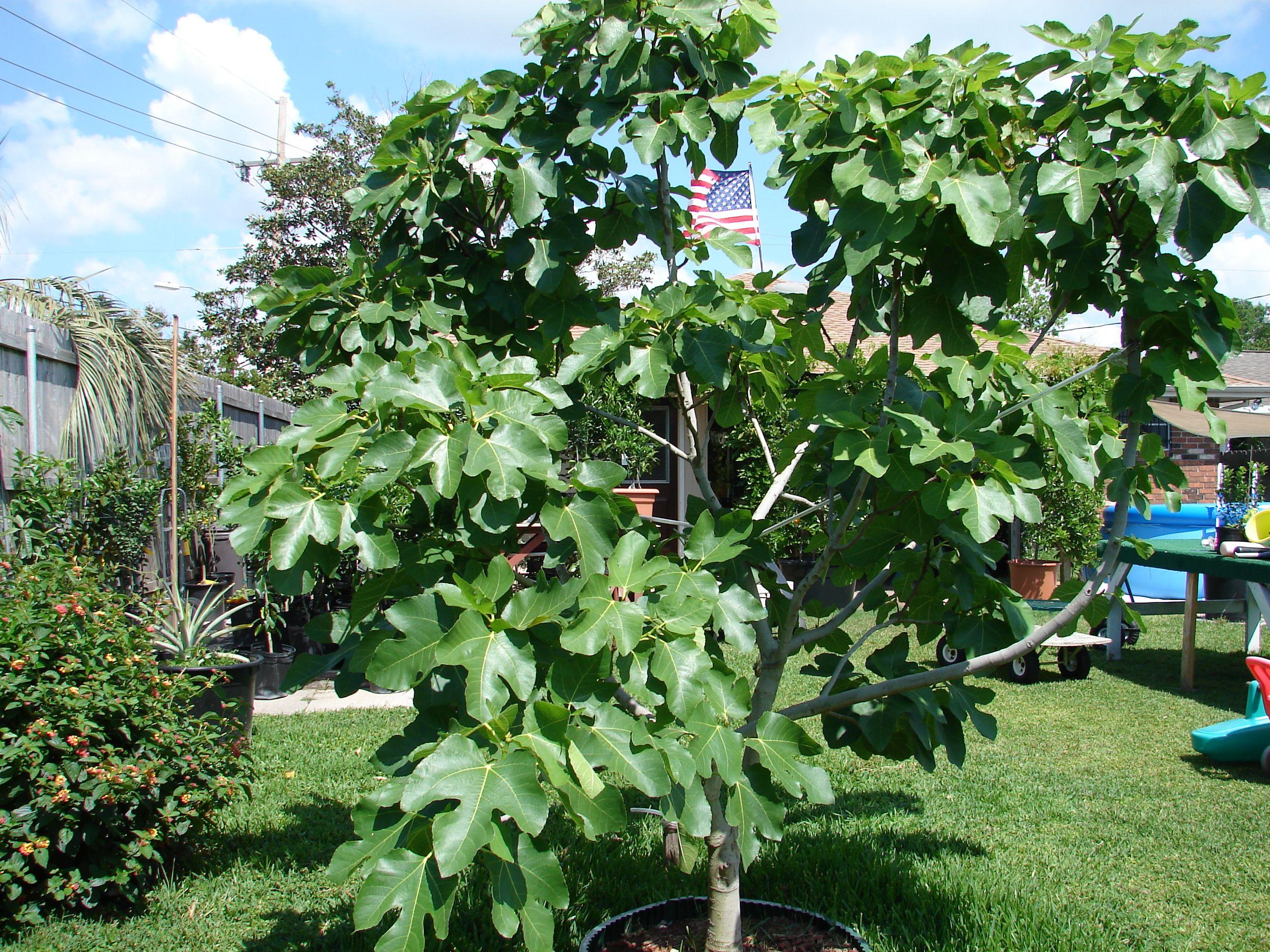 fig tree citrus trees backyard plants