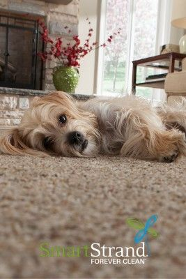 Pet Friendly Mohawk Smartstrand Forever Clean Carpet