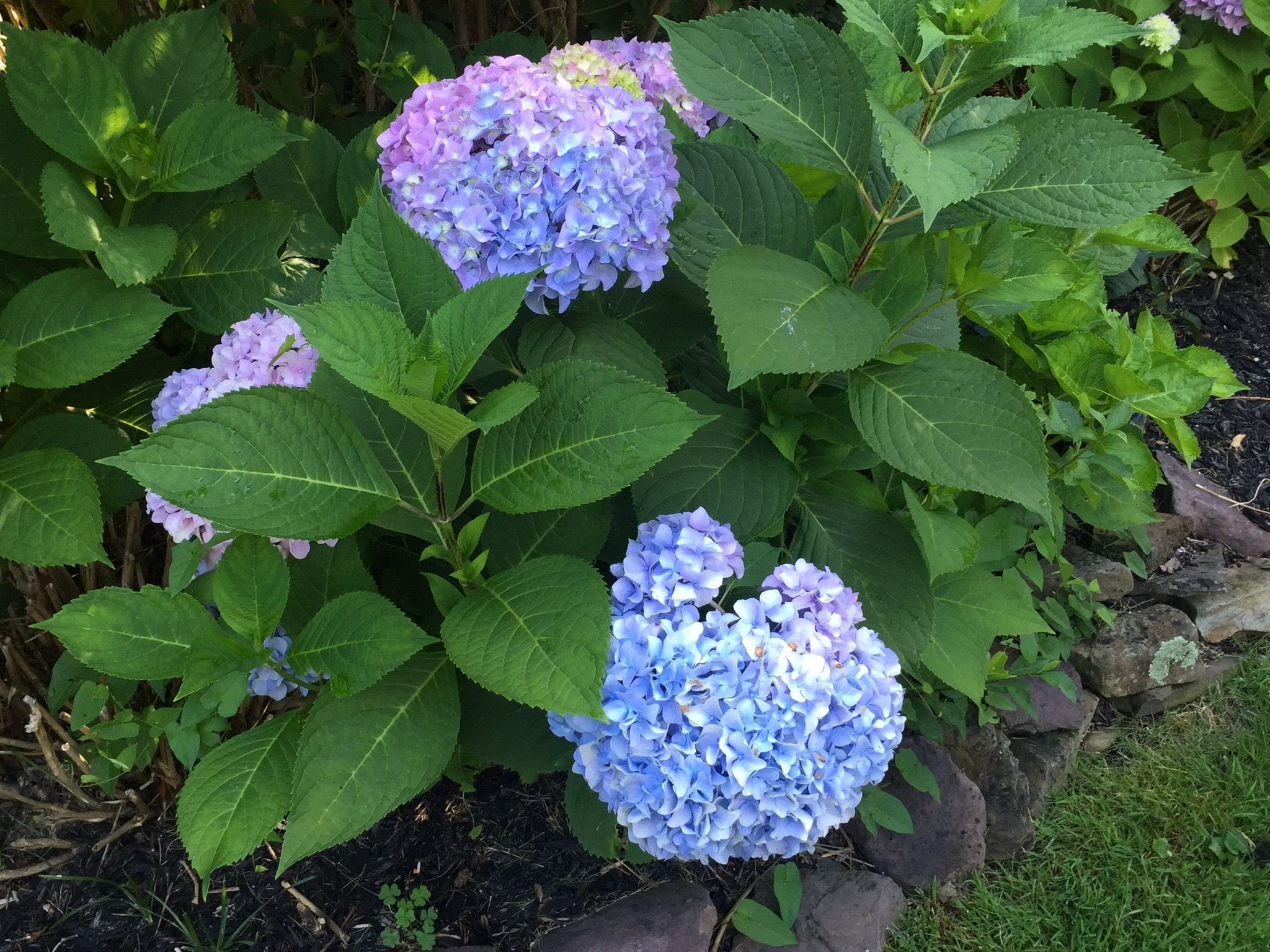 Hydrangea Or Hortensia Multiple Small White Flower Buds Surrounded With Large Thick Dark Green Leaves On Warm Sunn Flower Bud Small White Flowers White Flowers