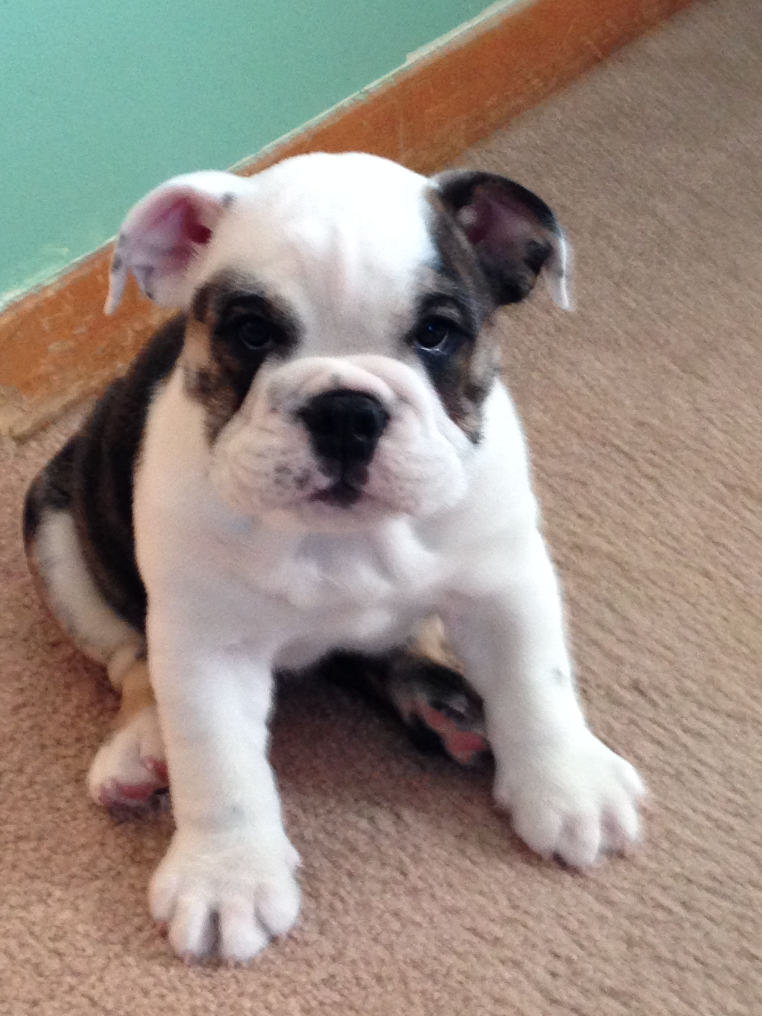 8wk old AKC Black Brindle Female 2000 English bulldog