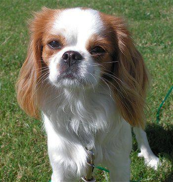 CAVALIER KING CHARLES Street Sign dog purebred pet lover animal