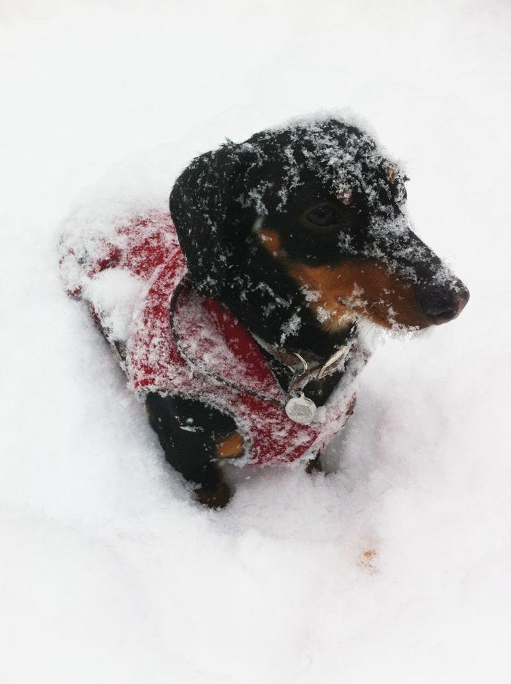 16 Pups Who Are Dachshund Through The Snow Dachshund Love