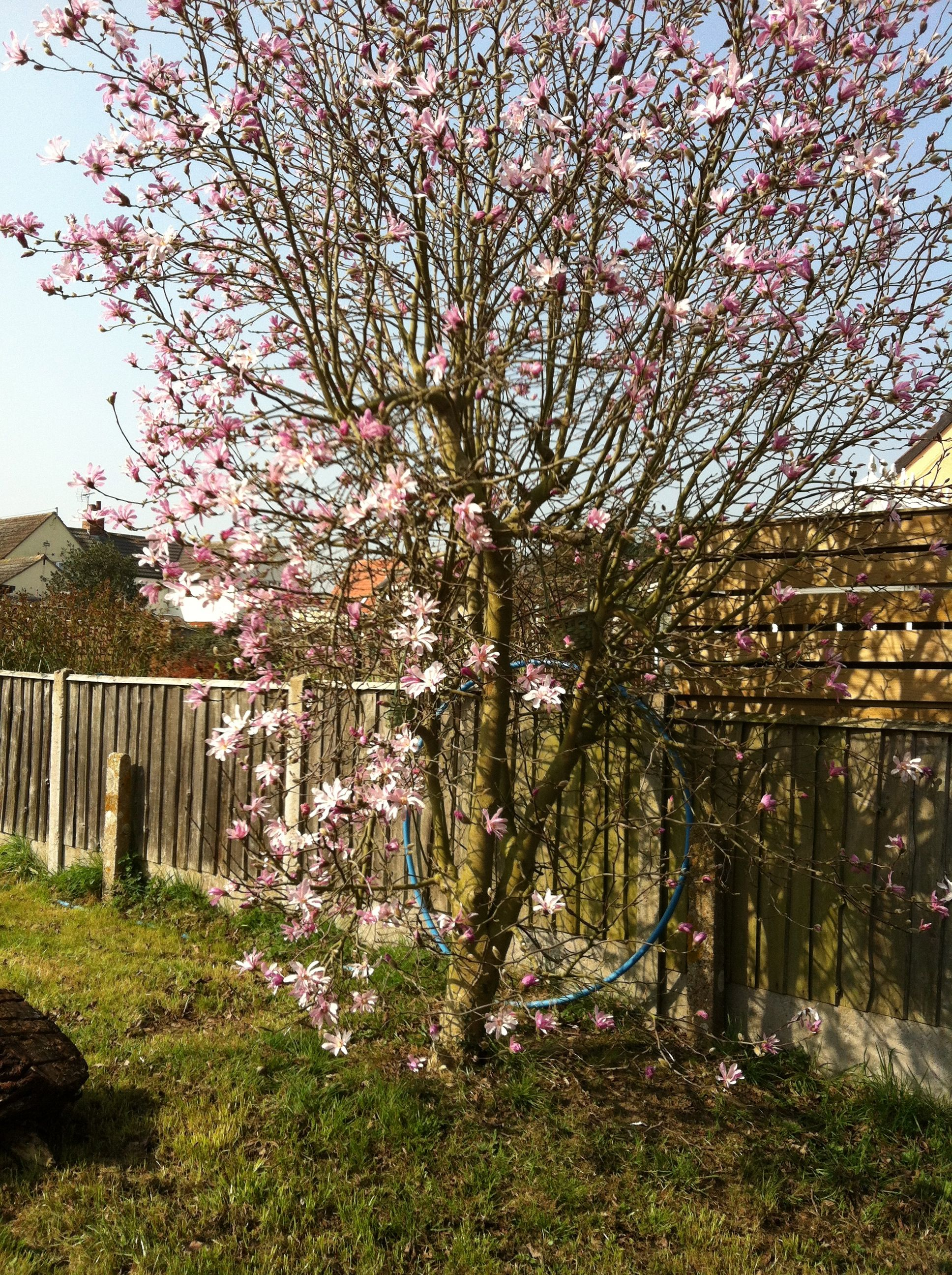 The Laurel Tree With Pink Flowers Laurel Tree Pink Flowering Trees The Great Outdoors