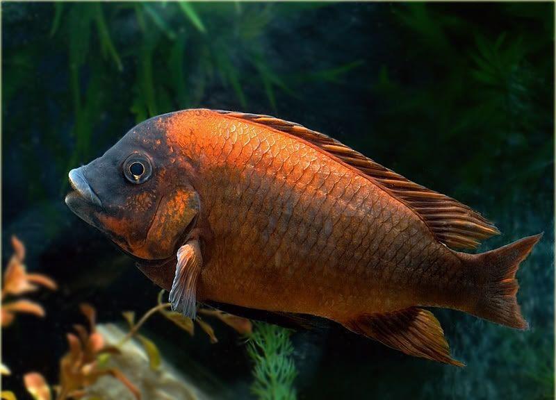 """Картинки по запросу Petrochromis sp. Red """"Mpimbwe"""""""