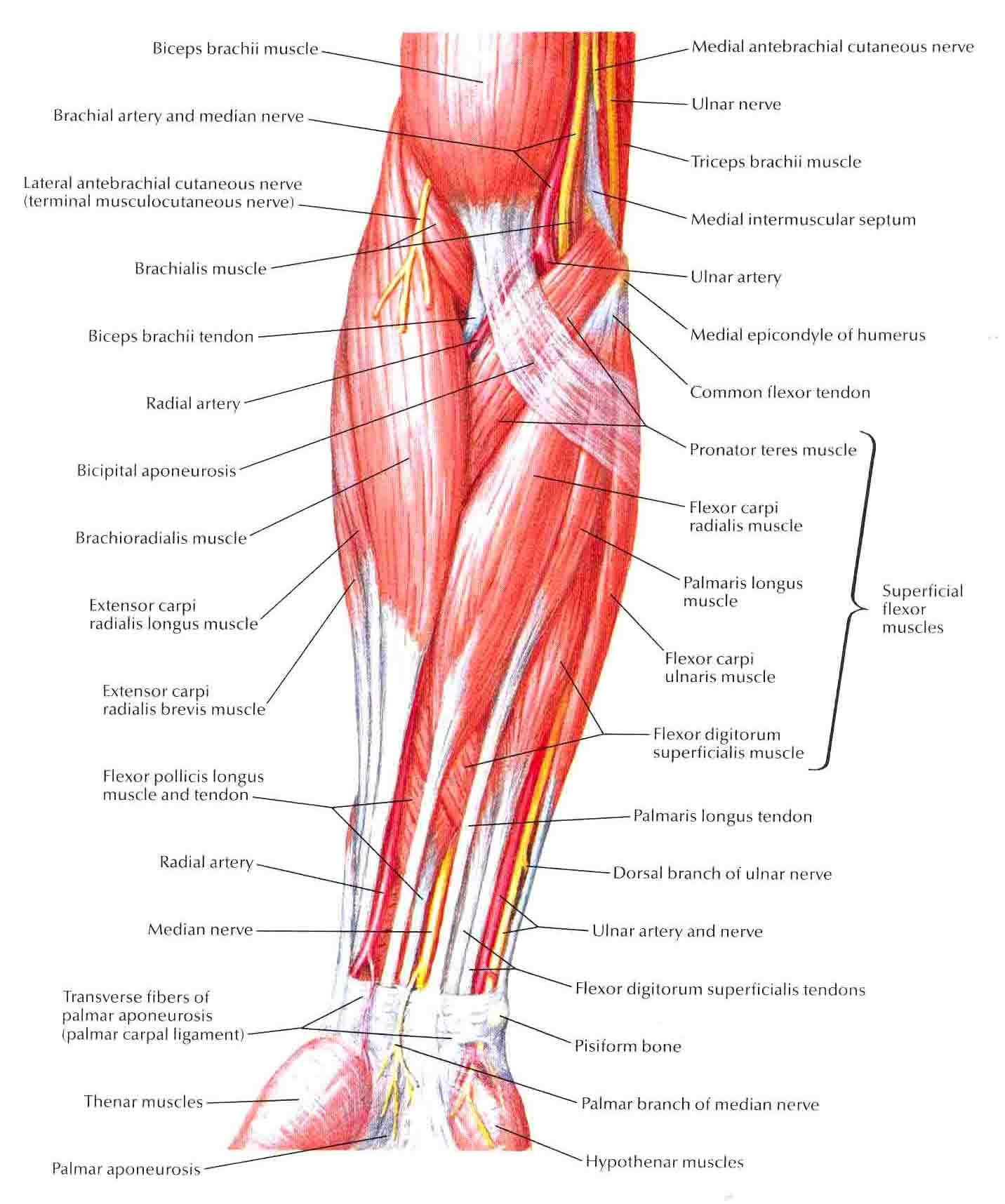 Muscles Of Forearm Superficial LayerAnterior View  Forearm