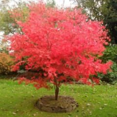 Acer palmatum 'Osakazuki' Japanese Maple -