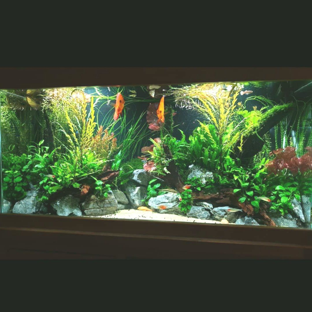 The Discus Community Tank Is Now Well In 2020 Community Tanks Tropical Fish Aquarium Discus Aquarium
