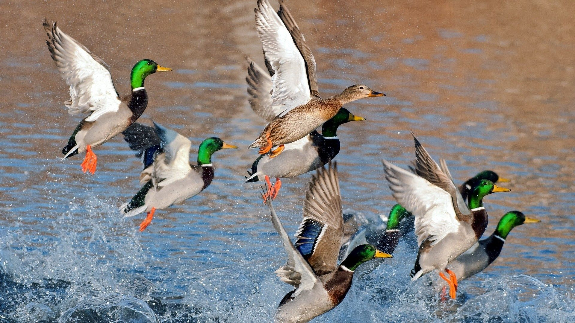 a group of flying ducks Birds, Duck hunting, Mallard duck