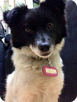Pictures Of Frida A Pomeranianborder Collie Mix For Adoption In