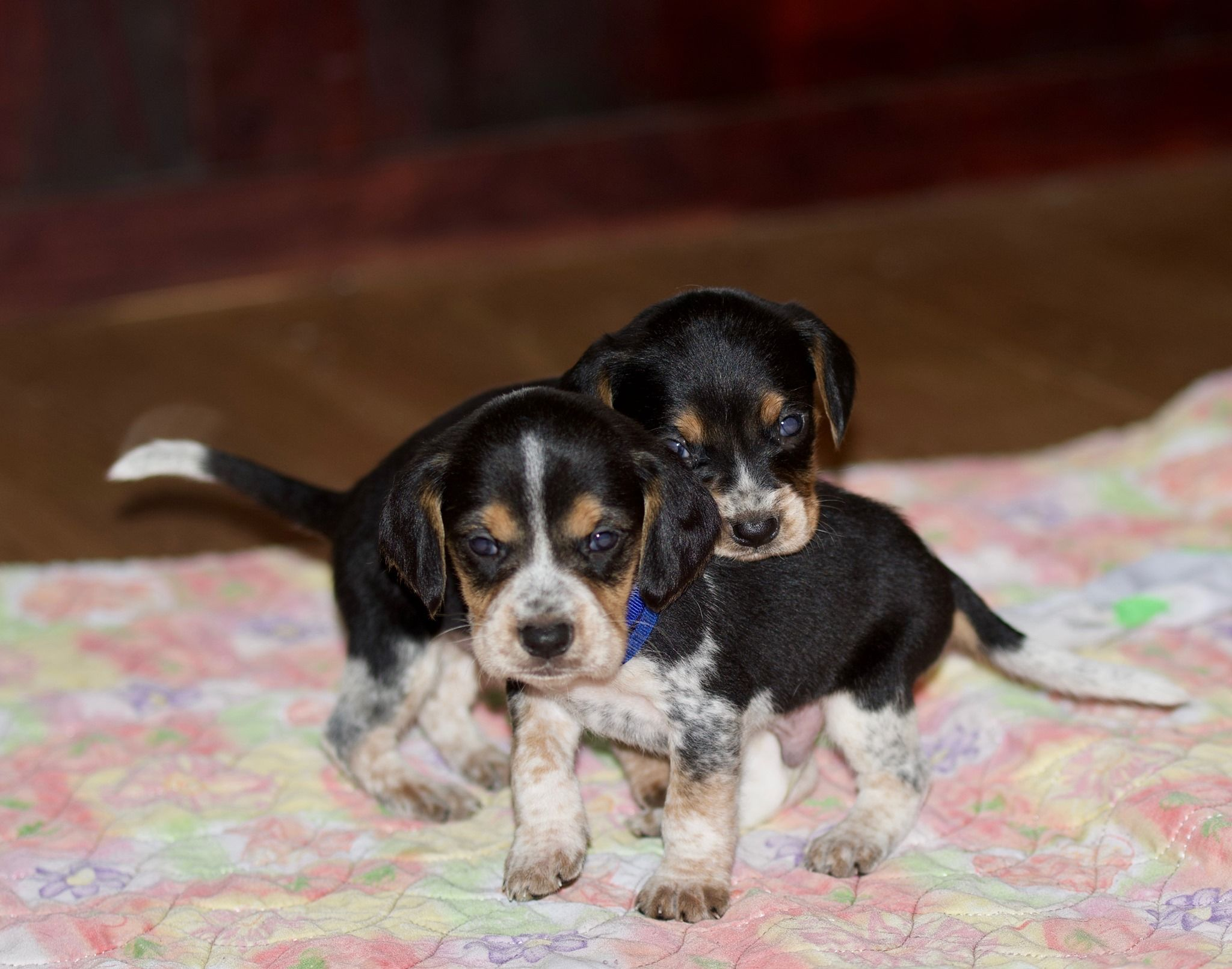 66650262 699680153802114 3398492408827084800 O 1 Jpg 2 Puppy Finder Puppies Dog Breeder