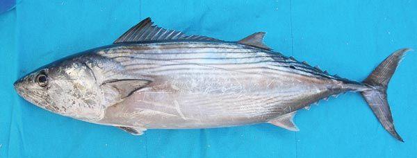 Bonito fish images google search underutilized and for Bonita fish recipes