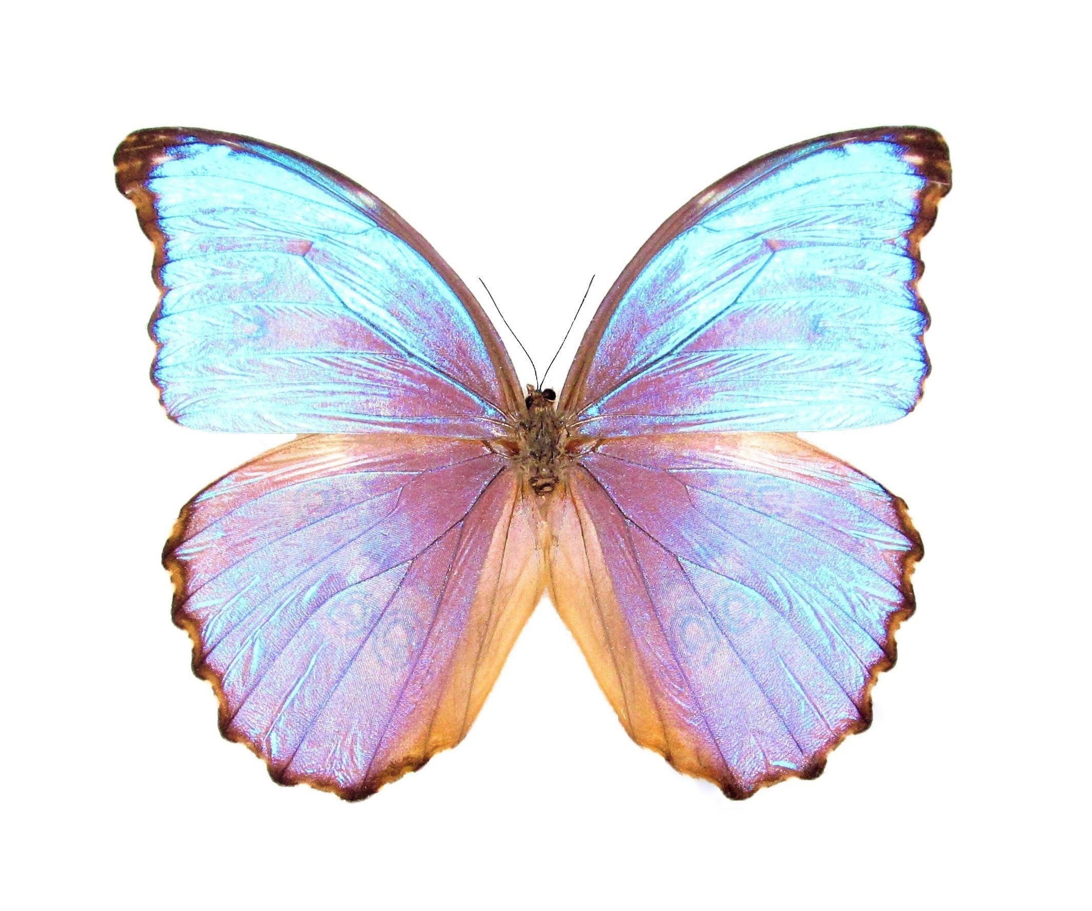 ONE Real Butterfly blue purple Morpho godarti asarpai Peru