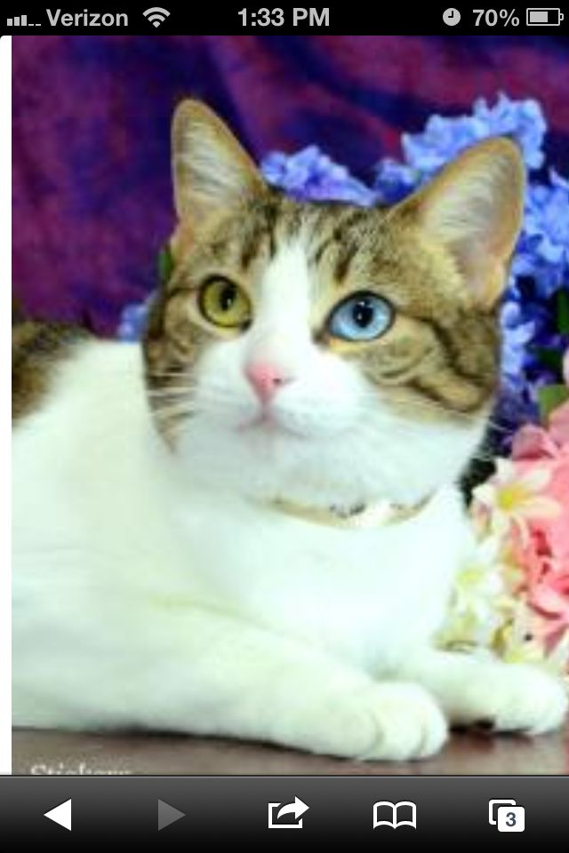 A Cat That Was For Adoption At The Placer Spca In Ca Notice The