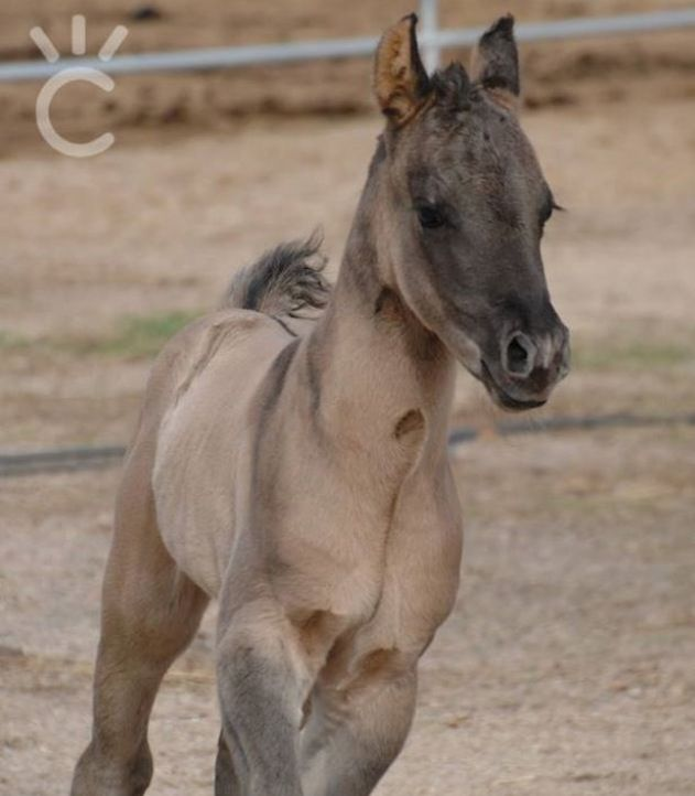 ADORABLE Grulla Foal❤❤