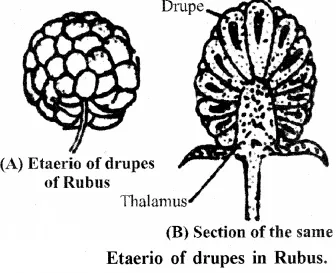 RBSE Solutions for Class 11 Biology Chapter 22 Fruit and