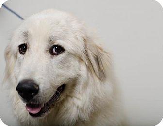 Edina Mn Great Pyrenees Meet Thelma D161492 Pending Adoption A Dog For Adoption Shelter Dogs Dog Adoption Dogs
