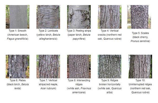 The Language Of Bark American Forests Tree Bark Identification Tree Identification Oak Tree Bark