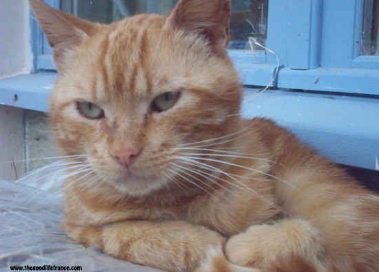 Ginger Roger the cat