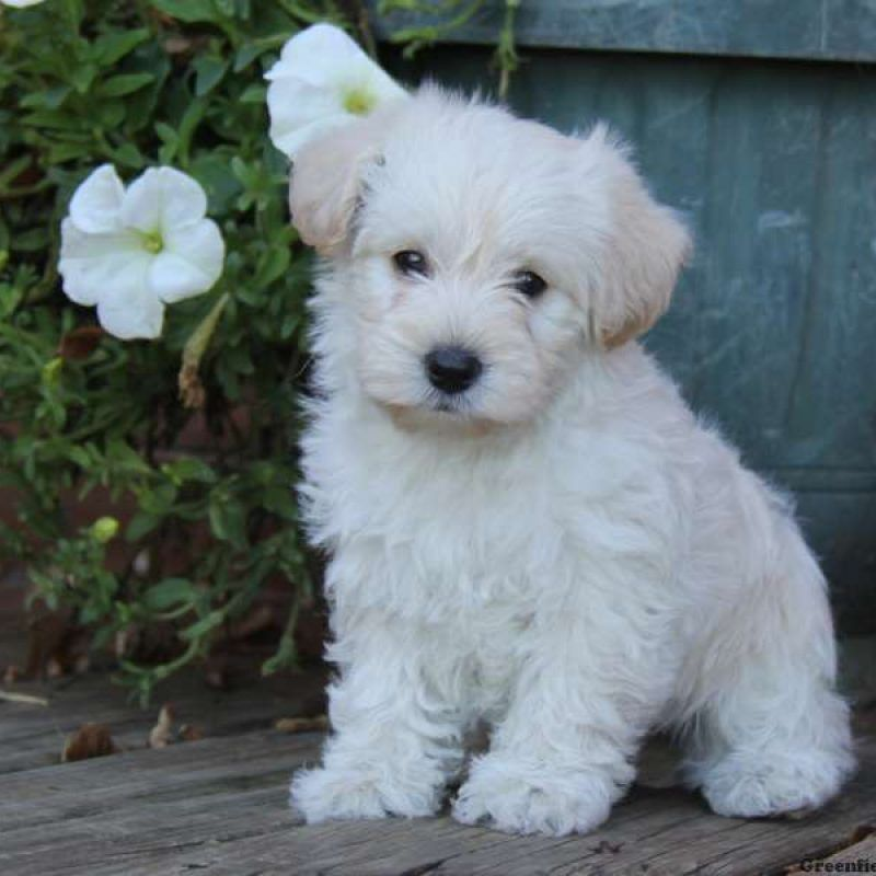 9 Interesting Facts About Maltipoos Lap Dog Breeds Poodle Cross