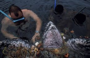 Unsuccefull Attempt By A Diver To Rescue A Leatherback Turtle