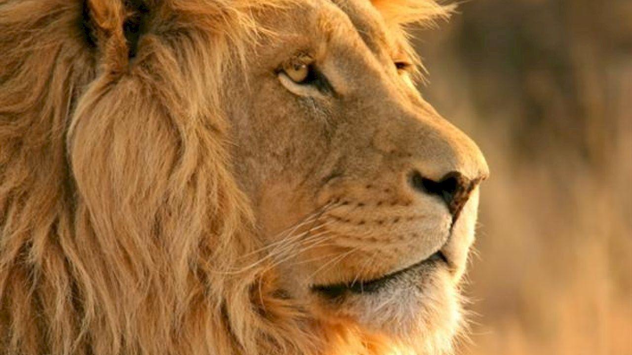 ما هو برج الاسد Lion Pictures Animal Posters Africa Animals
