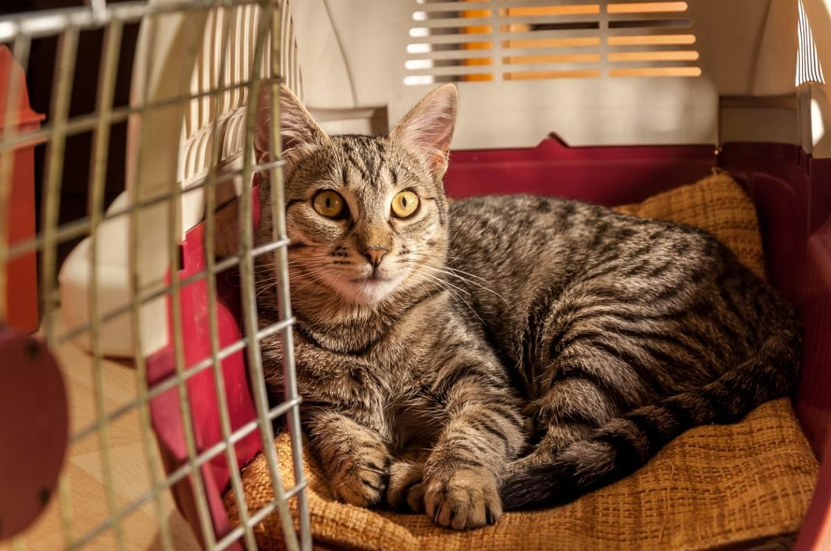 Top 7 Tips for Traveling with Your Cat in the Car #nomadicpets #travelpets #travelingwithpets #petsofinstagram #adventurepets #pets