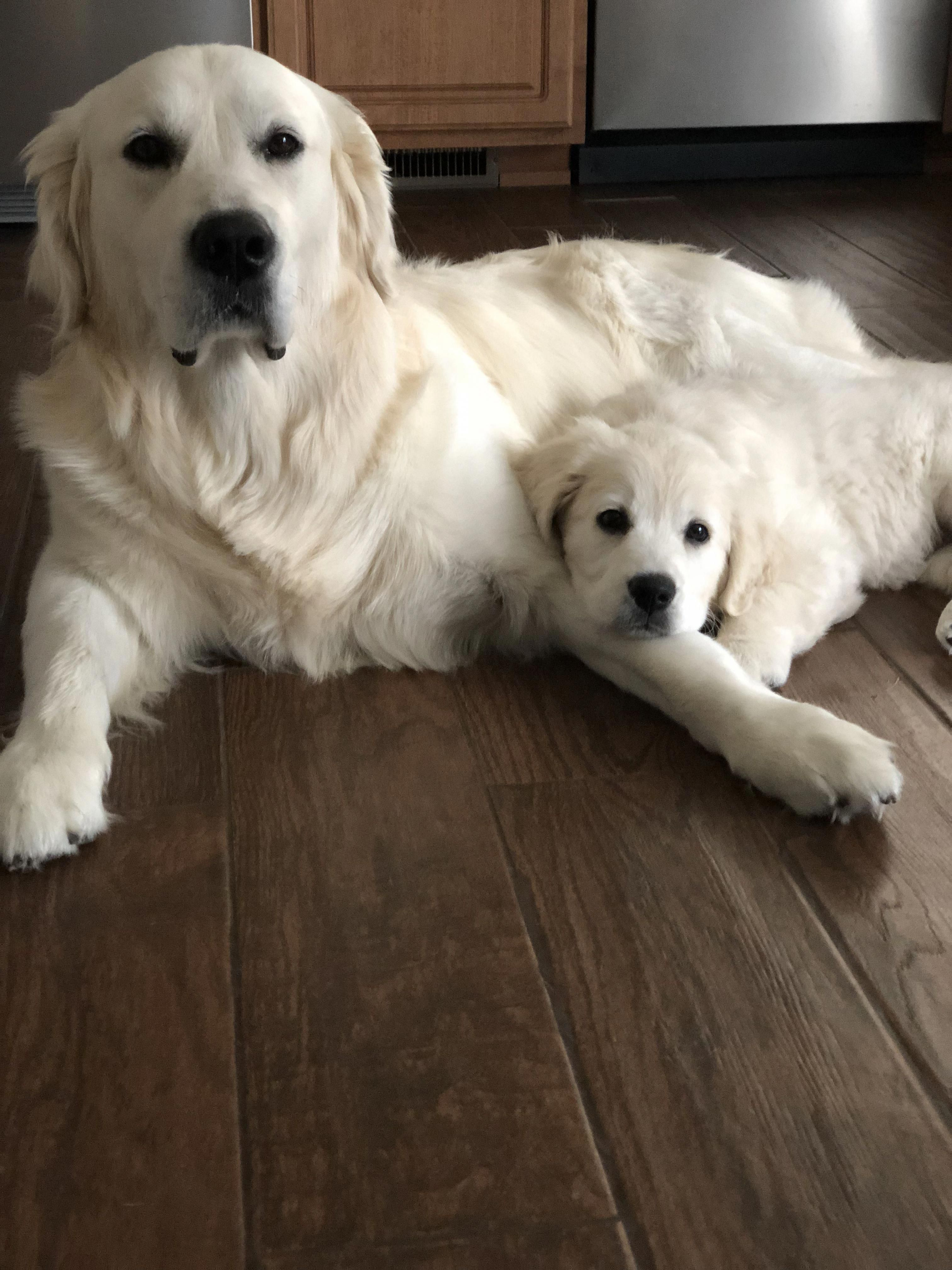 English Cream Golden Retrievers 4 Yrs And 10 Weeks