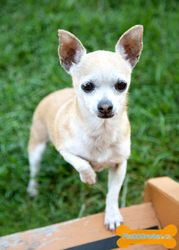 Posie Is An Adoptable Chihuahua Dog In Nepean On Posie Is A 5