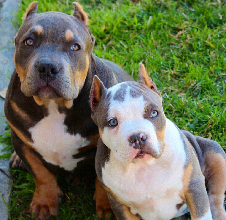 Beautiful Beautiful Dogs Pitbull Puppies Pitbull Dog