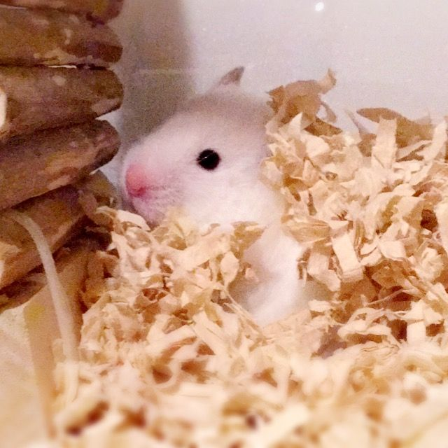 Pin By Alex Donley On Hamsters Funny Hamsters Cute Hamsters