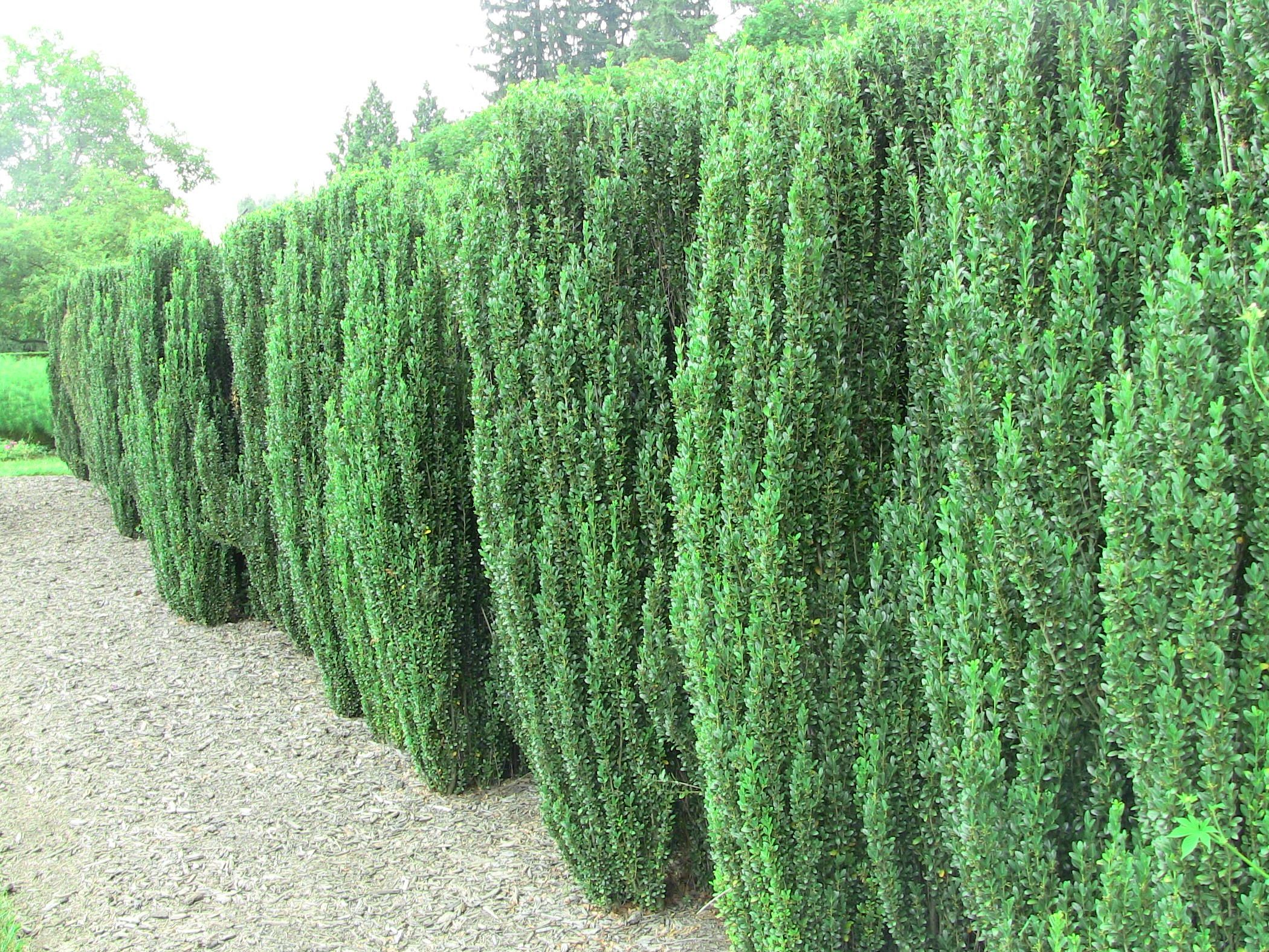 Big fan of the ilex crenata 39 sky pencil 39 places to see for Large bushes for landscaping