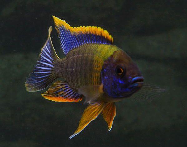 Aulonocara Sp Lwanda Red Top Lwanda Peacock Cichlid Cichlids African Cichlid Aquarium Cichlid Fish