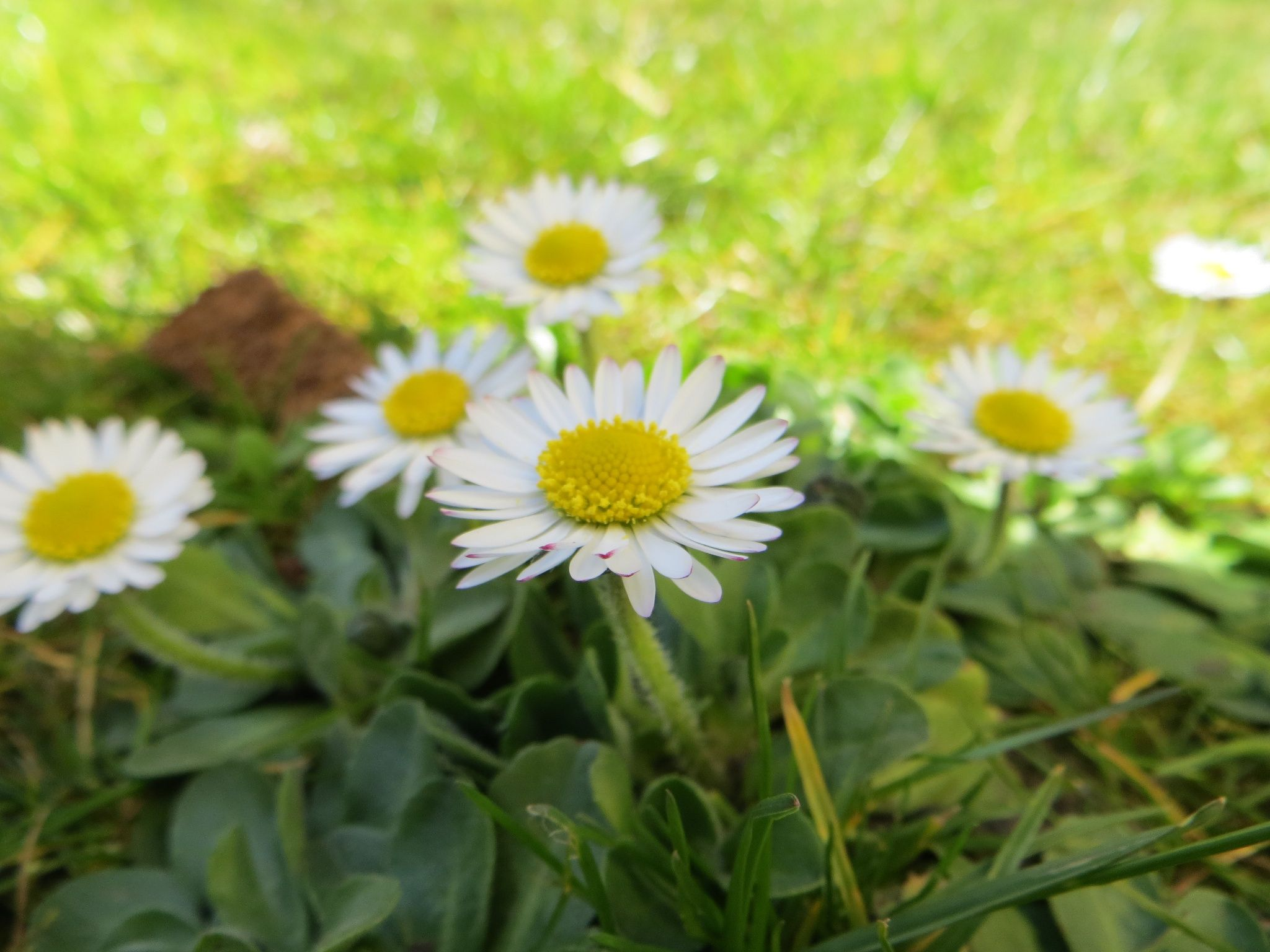 Little little daisy by lonatine on 500px floressaryhotmail daisy flowers izmirmasajfo