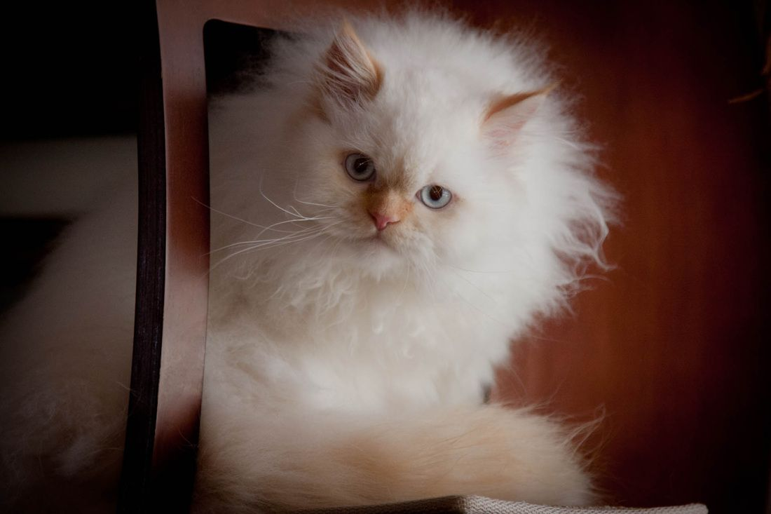 doll face himalayan kittens for sale THE FELINE PHOTOGRAPHY OF