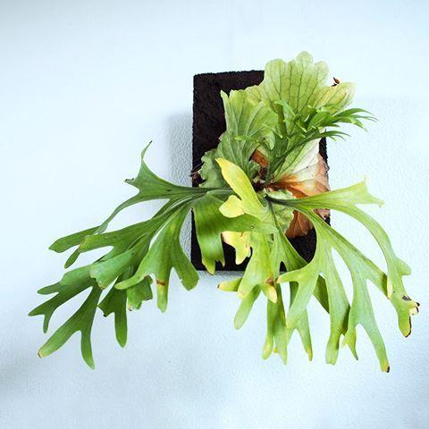 2017/03/01 . おはようございます! . #kitshakood #mtkitshakood #platycerium #staghornfern #staghornferns #polypodiaceae #fern #green #plants #ビカクシダ #plantlife #instaplant