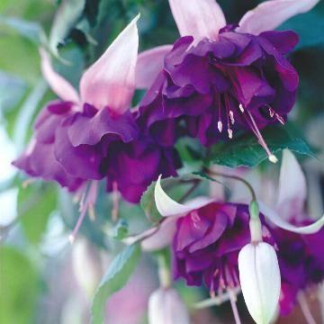 More On Fuchsia Plants For Hanging Baskets Purple Flowers Garden Fuchsia Plant Types Of Purple Flowers