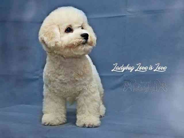 Bichon Frise Puppies For Sale Petworldglobal Com Bichon Frise