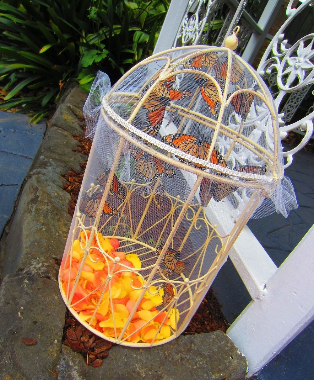 Monarch Butterflies ready for release at Bram Leigh (With