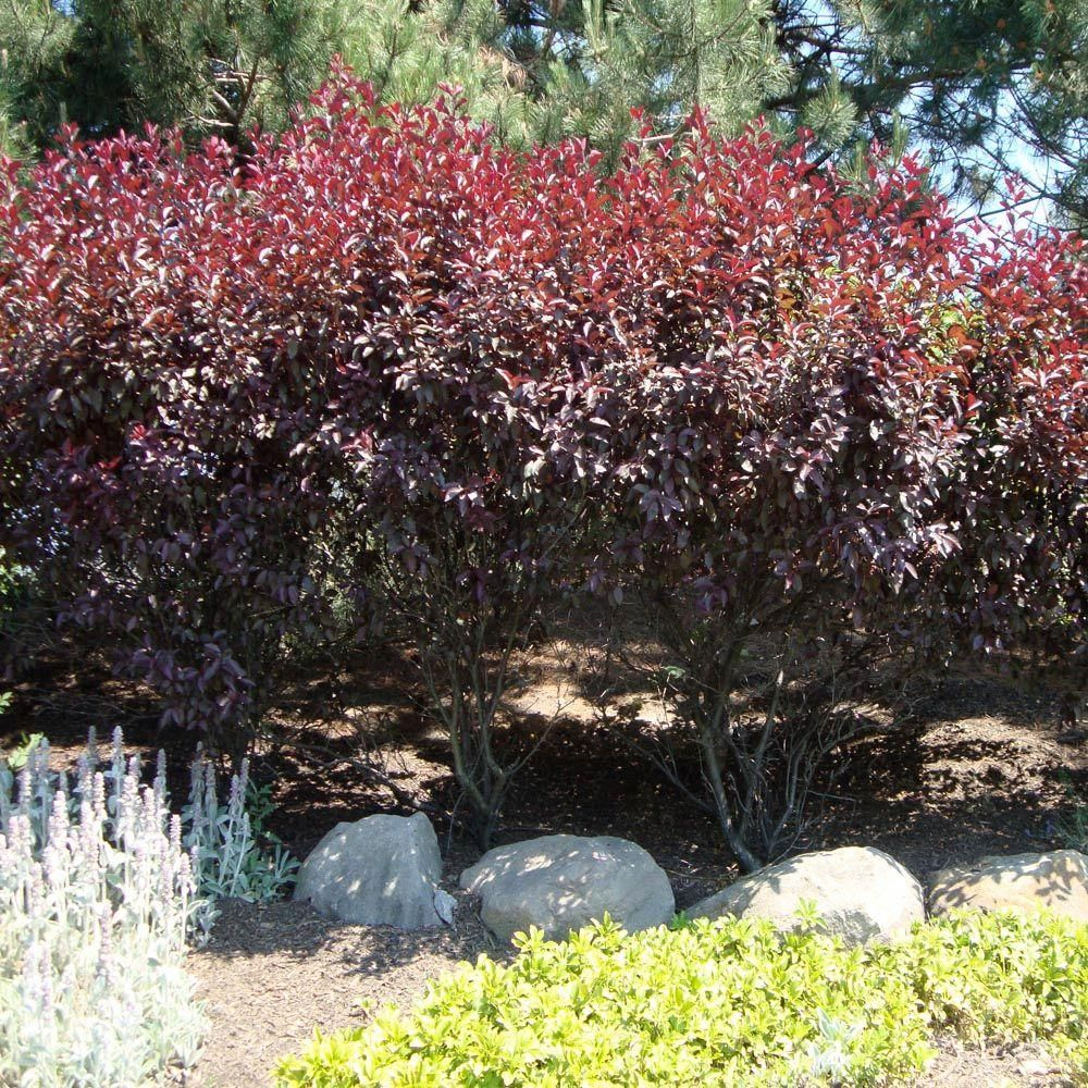 Purpleleaf Sand Cherry 8 Feet Tall X 6 Feet Wide Zones