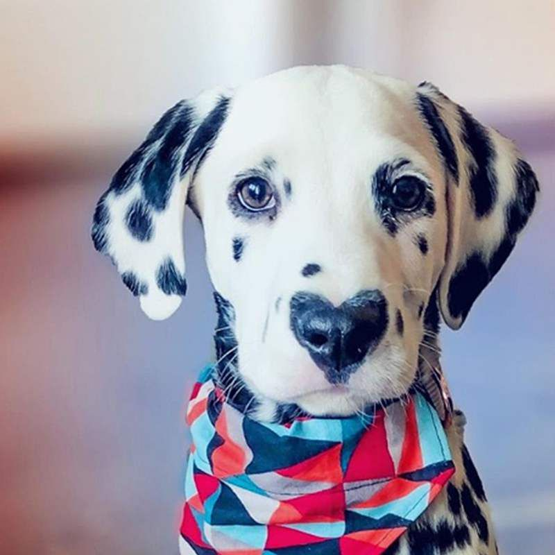 Welpe Wiley Dieser Dalmatiner Mit Einem Herzchen Auf Der Nase Ist Sooo Suss Dalmatiner Dalmatiner Welpen Welpen