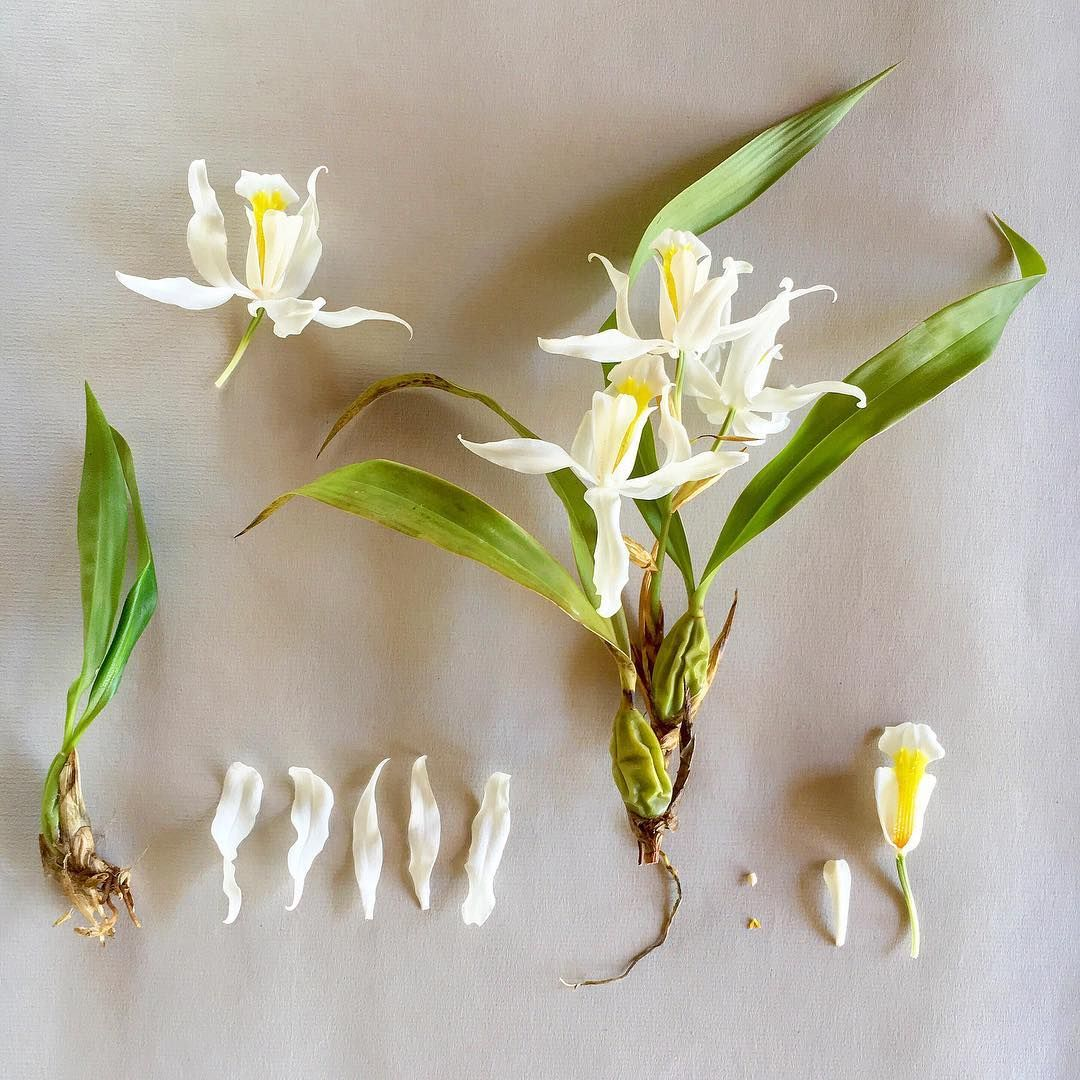 C o e l g y n e cristata this epiphytic orchids scent is remini c o e l g y n e cristata this epiphytic orchids scent is reminiscent of horse manure but kind of in a good way izmirmasajfo