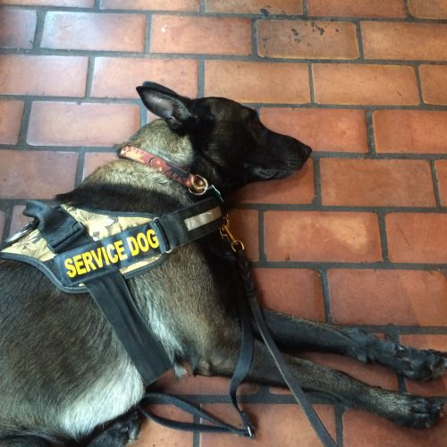 Service Dogs Always At Work Even When Resting From Doberbutts