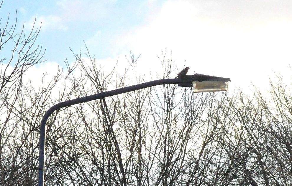 Andijk - Sinds enkele weken kun je op het Hornpad een roffelende specht horen, hij doet dit niet in de boom, maar bovenop een lantaarnpaal! Dat klinkt als metaalachtig geratel en is tot ver op de d...