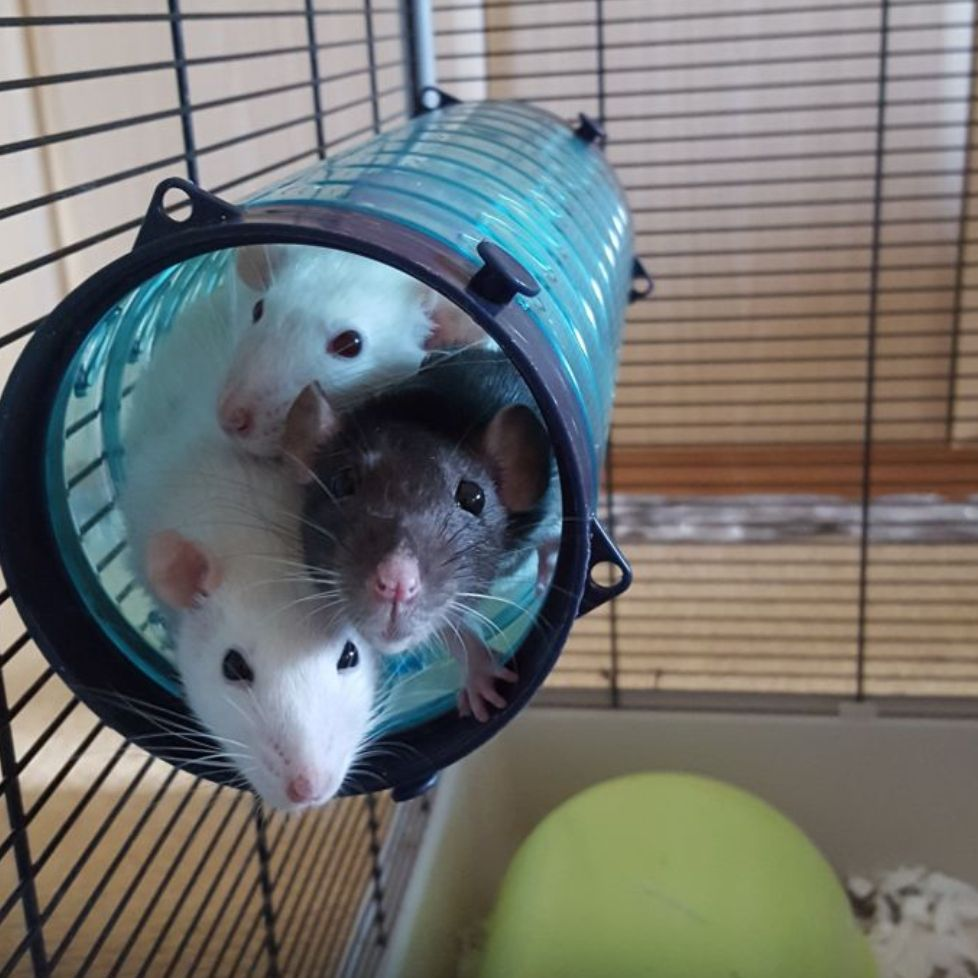 Pin By Abigail Helms On Rattastic Cute Rats Small Pets Rats